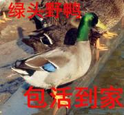 绿头野鸭,老鸭子野鸭活体发货绿头鸭子 母野鸭公野鸭包活到家