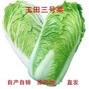 农家自产玉田特产大白菜净菜蔬菜三号菜黄心涮菜7斤包邮