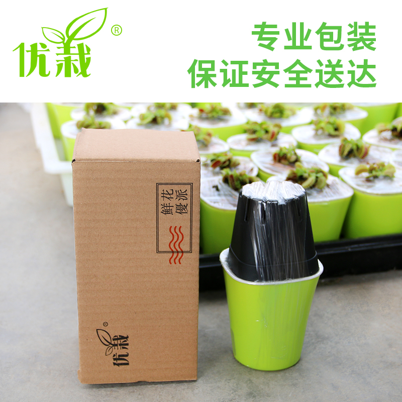 捕蝇草盆栽 食人花猪笼草捕虫草扑蝇草室内吃人花超大食虫植物