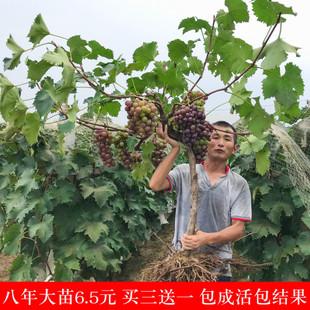 爬藤葡萄苗 葡萄树苗 蓝宝石果树苗盆栽地栽 南北方种植当年结果