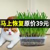 猫草种植套装