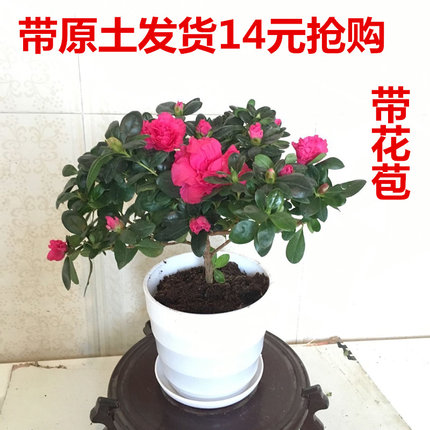 杜鹃花盆栽 映山红花卉 盆栽室内庭院<font color='red'><b>植物</b></font>