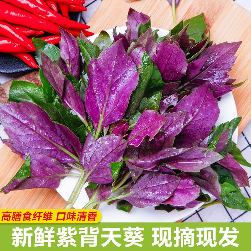 紫背天葵新鲜现摘500g 观音菜红军菜