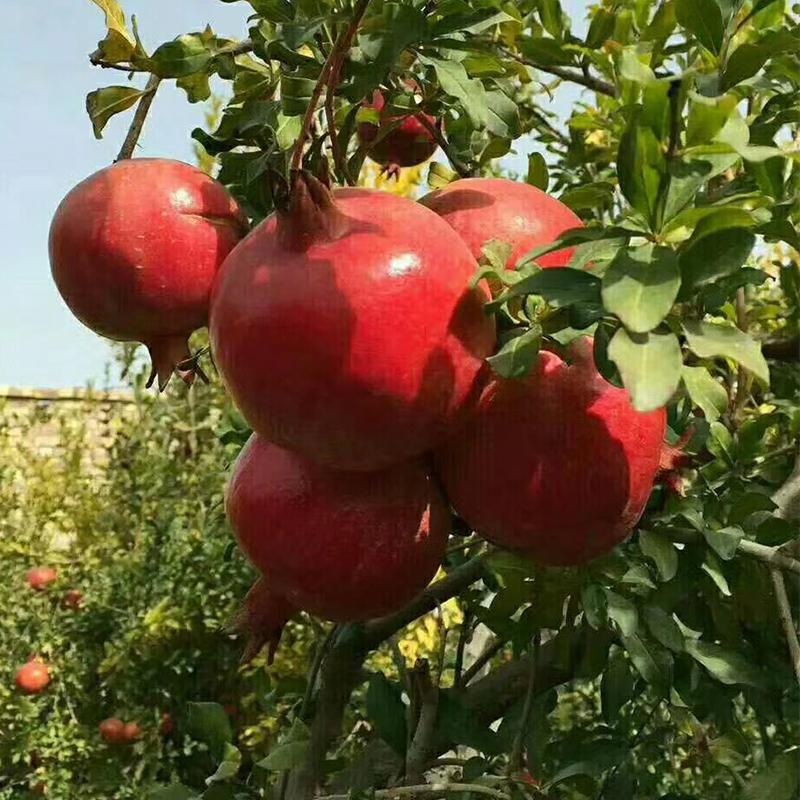 新疆甜石榴 和田皮亚曼石榴 大石榴 新鲜水果石榴10斤包邮