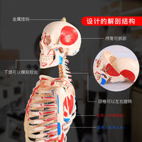 85cm180cm human skeleton model skeleton with muscle model simulation detachable medical orthopedic teaching