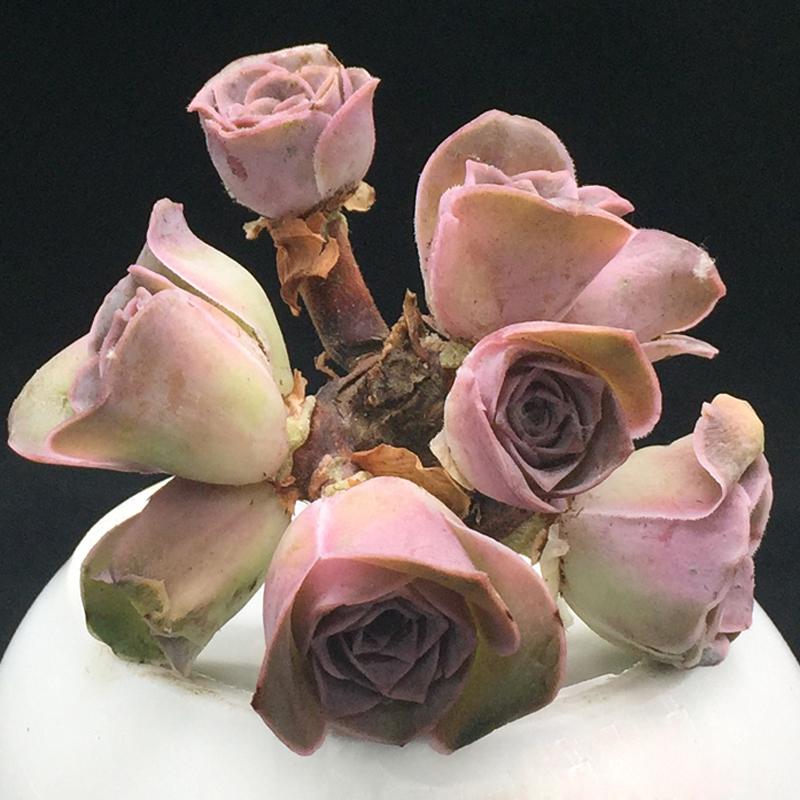 黄金山地玫瑰 一物