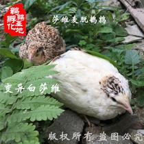 受精莎维麦脱鹌鹑种蛋受精蛋可孵化莎维鹌鹑种蛋肉用蛋100个包邮