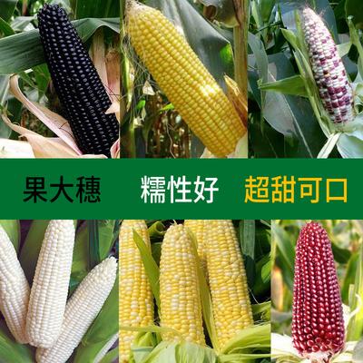 水果黑珍珠玉米种子夏季播高产早熟大田生吃甜糯粘彩色玉米种子