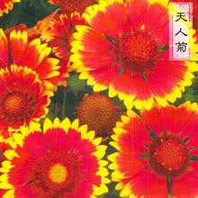 天人菊种子多年生宿根植物四季播阳台盆栽庭院花卉种子园艺花种籽