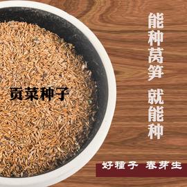 安徽贡菜种子苔干种子苔菜种子响菜山蛰菜山哲菜蔬菜种子种植10g图片