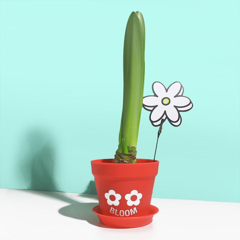 超级植物进口朱顶红封蜡种球,100元左右送女朋友礼物