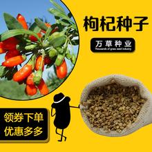食用枸杞种子青海新疆甘肃内蒙宁夏特产水洗净枸杞种四季播种包邮