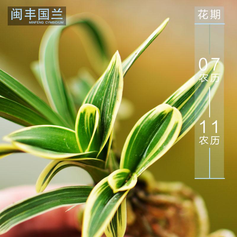 精品兰花矮种