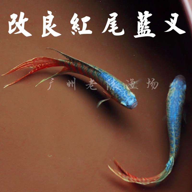 改良蓝叉 中国斗鱼活鱼 中华国斗鱼活体观赏鱼冷水鱼好养耐活鱼