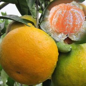 果树苗日南柑桔苗大分1号特早熟蜜桔苗南丰蜜桔苗果苗高糖度橘苗