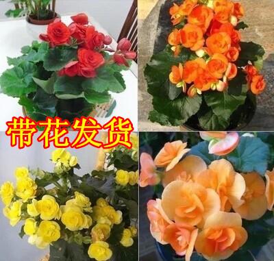 盆栽花卉 四季开花 玫瑰海棠  四季秋海棠 丽格海棠花苗 带花发货