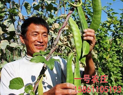 蔬菜种子 刀豆种子 大刀豆种子 家庭四季种植 约5粒 爬藤豆角种子