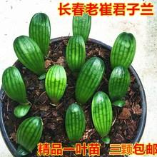 长春君子兰精品一叶小苗绿植花卉盆栽和尚立板大桥油匠短叶胜利