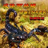 宠物蝎子雨林蝎亚洲假帝王蝎子公母繁殖组总长14 送套餐 16cm 包邮