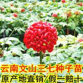 云南文山三七种子苗红籽1年生子条2年三七树苗植物盆栽阳台田七苗