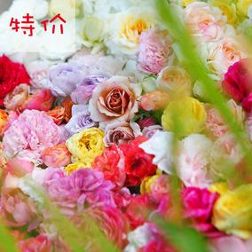 小小米薇精品月季 混苗 庭院植物花卉玫瑰花1加仑月季盆栽