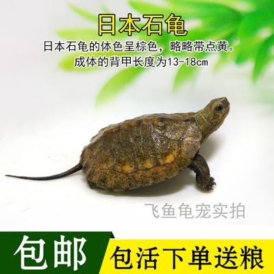 2018乌龟日本石龟活体宠物龟石金钱水龟深水小宠日石苗观赏龟包邮