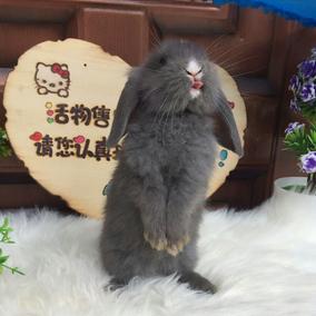 活体宠物兔子垂耳兔兔长毛短毛包子脸疫苗已打包活包健康