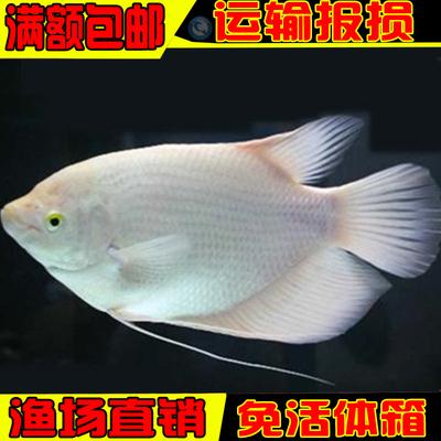 热带观赏鱼 黄金战船鱼 招财鱼 长丝鲈 大飞船 战船鱼 风水鱼活体