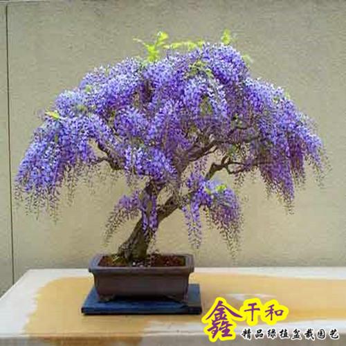 日本多花紫藤花盆栽