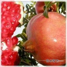 果树苗 石榴树苗【红巨蜜】汁多味甜,品质极上,果实硕大