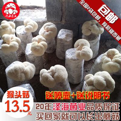 蘑菇女王猴头菇菌包食用菌菌种菌包菌种子蘑菇种植包阳台多肉盆栽