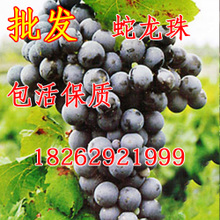 嫁接葡萄苗 蛇龙珠酿酒葡萄/随尔选 紫黑色,酿酒葡萄果树苗批发