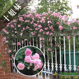庭院植物攀援月季 十姐妹蔷薇花 爬藤花卉苗木   爬藤植物