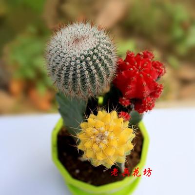 仙人球彩色组盆栽合办公室内桌面 防辐射仙人掌趣味多肉植物花卉