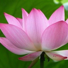 bowl lotus water culture plant flower living room flower